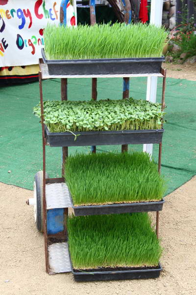 wheatgrass & sunflower sprouts