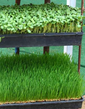 Enhanced Organic Wheatgrass and Sunflower Sprouts